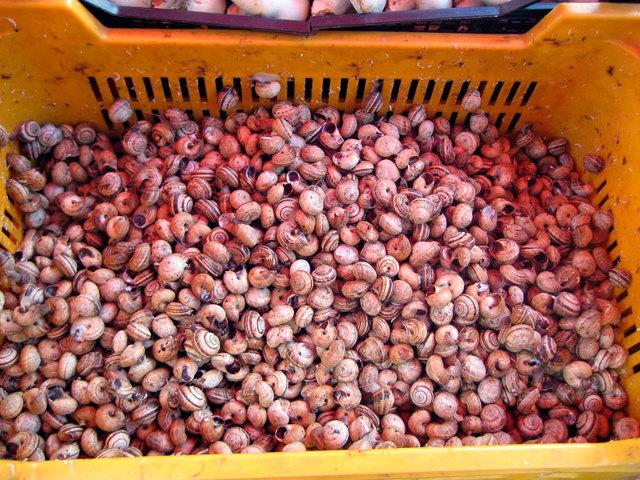 Разведение виноградных улиток в домашних условиях для ресторанов