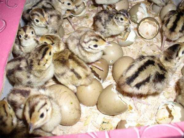 Условия для разведения фазанов в домашних условиях