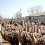 Страусиная ферма как бизнес