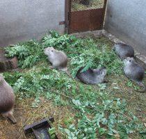 Разведение нутрий: условия содержания, уход за животными
