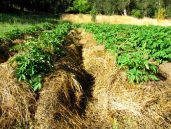 Сколько можно собрать картофеля с 1 га земли