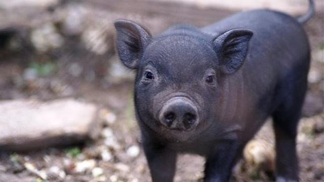 Вьетнамские свиньи: разведение, в домашних условиях как бизнес