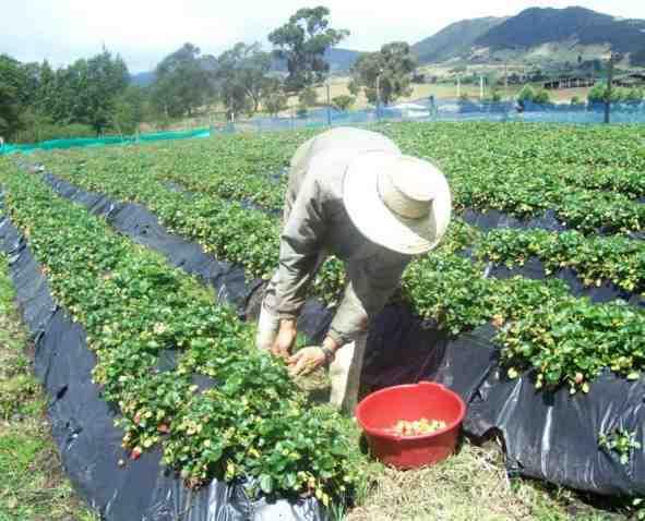 Выращивание клубники как бизнес: способы, сорта, технологии