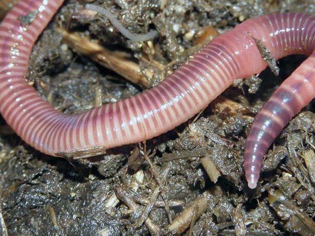 Калифорнийские черви: как разводить в домашних условиях, видео