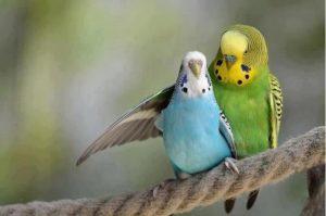 Как развести волнистых попугаев в домашних условиях и заработать
