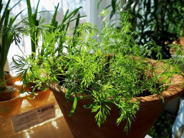 Выращивание укропа из семян на подоконнике