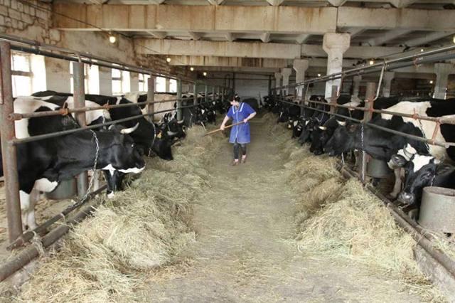 Ферма коров: выгодно ли держать коровник