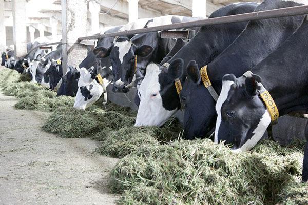 Откорм бычков на мясо как бизнес