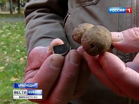 Где в россии растут грибы трюфели