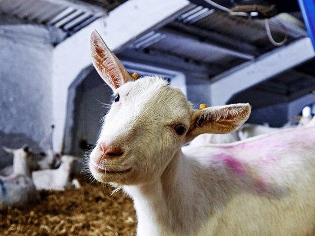 Разведение коз в домашних условиях для начинающих: рекомендации