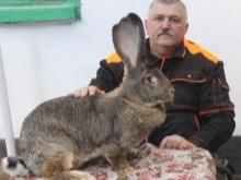 Породы кроликов для разведения на мясо