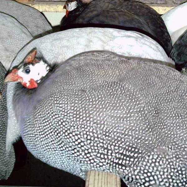 разведение цесарок в домашних условиях для начинающих, уход