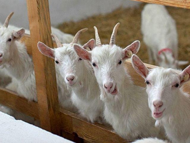Козья ферма: как открыть бизнес