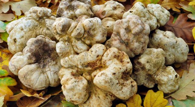 Как вырастить гриб трюфель в домашних условиях