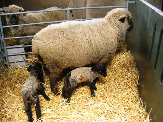 Разведение баранов на мясо как бизнес, содержание животных