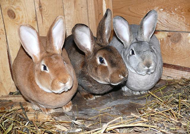 Разведение кроликов как бизнес: бизнес план фермы