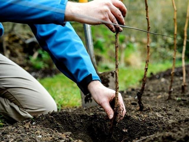 Малина ремонтантная: уход и выращивание
